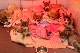 Jongen (11) vindt negen gedumpte, zieke puppy's in Sint Agatha