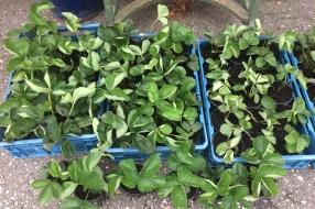 Aardbei planten te koop