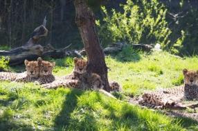 Mama cheetah en haar jonkies voor het eerst naar buiten in ZooParc Overloon