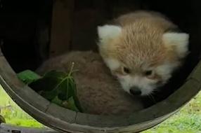 Rode pandatweeling geboren in ZooParc Overloon: 'Over tijdje naar buiten'