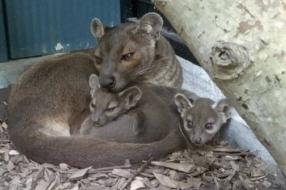 Zeldzame fossa's geboren in Zooparc Overloon