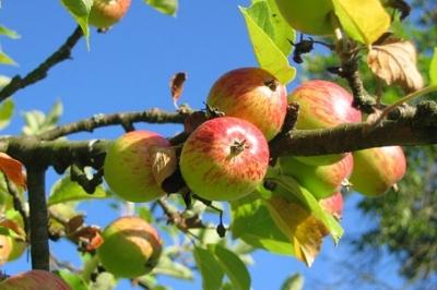 Evenement: Fruitbomen snoeien met IVN Cuijk