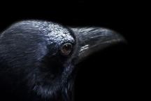 Een vliegende kraai vangt altijd wat Het natuurpalet, De Raetsingel 5 Boxmeer
