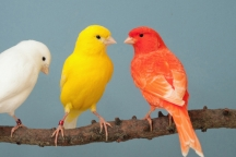 Onderlinge vogeltentoonstelling KLE-ZA-TRO uit Sint Anthonis e.o. MFC Oelbroeck Breestraat 1d te 5845 AX Sint Anthonis.