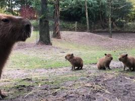 Beschuit met muisjes in ZooParc Overloon: pinguïns, kangoeroes en capibara's geboren